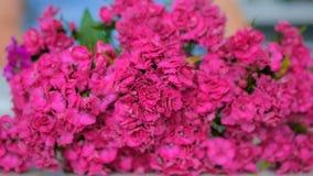 Blumenstrauß der purpurroten türkischen Gartennelke lizenzfreie stockfotos