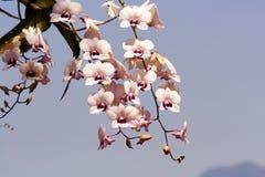 Blumenstrauß der rosa Trompetenblume mit Rücklicht Stockbild