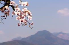 Blumenstrauß der rosa Trompetenblume mit Rücklicht Lizenzfreies Stockbild