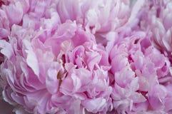 Blumenstrauß der rosafarbenen Pfingstrosen lizenzfreie stockfotografie