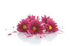 Blumenstrauß der roten Chrysanthemen Lizenzfreies Stockbild