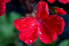 Blumenstrauß der roten Pelargonie blüht auf schwarzem Hintergrund, Makro stockbilder