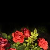 Blumenstrauß der roten Rosen auf schwarzem Hintergrund Lizenzfreies Stockfoto