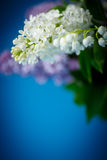 Blumenstrauß der schönen purpurroten Flieder Stockbilder