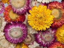 Blumenstrauß der trockenen Strohblume (ewig) Lizenzfreie Stockbilder