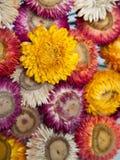Blumenstrauß der trockenen Strohblume oder ewig Stockfotografie