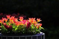 Blumenstrauß der Tulpen Stockfotografie