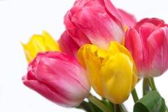 Blumenstrauß der Tulpen auf weißem Hintergrund Stockfoto