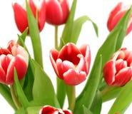 Blumenstrauß der Tulpen getrennt auf Weiß stockfotos