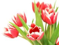 Blumenstrauß der Tulpen getrennt auf Weiß lizenzfreie stockfotos