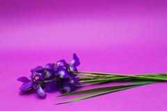 Blumenstrauß der violetten Iris blüht auf purpurrotem Hintergrund Lizenzfreies Stockfoto
