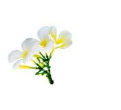 Blumenstrauß der weißen Plumeriablume Stockfotos