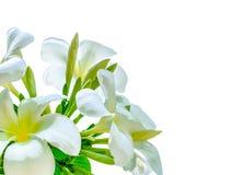 Blumenstrauß der weißen Plumeriablume mit irgendeinem Blatt Stockfotografie