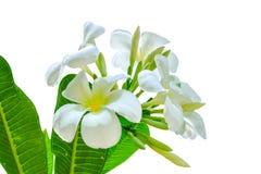 Blumenstrauß der weißen Plumeriablume mit irgendeinem Blatt Stockbilder
