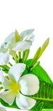 Blumenstrauß der weißen Plumeriablume mit irgendeinem Blatt Lizenzfreie Stockfotos