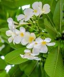 Blumenstrauß der weißen Plumeriablume mit Unschärfegrünblatt Lizenzfreie Stockfotografie