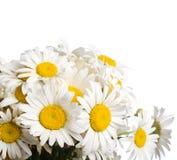 Blumenstrauß der wilden camomiles Stockbilder