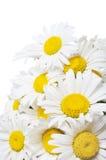 Blumenstrauß der wilden camomiles Lizenzfreie Stockfotos