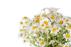Blumenstrauß der wilden camomiles Stockfoto