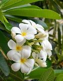 Blumenstrauß des blühenden weißen Plumeria oder des Frangipani blüht Stockfotos