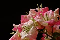 Blumenstrauß des Bouganvillas Lizenzfreies Stockbild