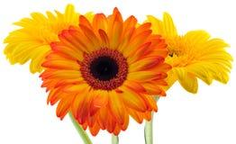Blumenstrauß des Gerberas Lizenzfreie Stockbilder