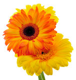 Blumenstrauß des Gerberas Lizenzfreie Stockfotos