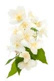 Blumenstrauß des Jasmins Stockfoto