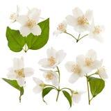 Blumenstrauß des Jasmins Stockfotografie