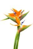 Blumenstrauß des Paradiesvogels Blumen lizenzfreie stockbilder