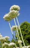 Blumenstrauß des weißen Agapanthus Lizenzfreies Stockfoto