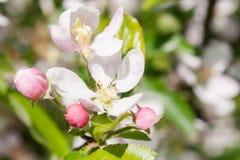 Blumenstrauß mit den rosa Apfelknospen und -blume Stockfoto