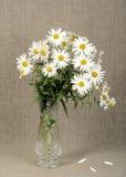 Blumenstrauß mit weißen camomiles Stockfotos
