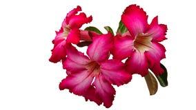 Blumenstrauß von Adeniumblumen auf weißem Hintergrund Lizenzfreie Stockfotografie