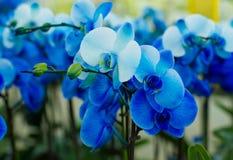 Blumenstrauß von blauen Orchideen stockfoto