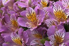 Blumenstrauß von Blumen des malvenfarbenen Alstroemeria oder der peruanischen Lilie lizenzfreie stockfotografie