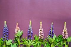 Blumenstrauß von bunten Lupinen auf einem purpurroten Hintergrund Lizenzfreie Stockfotografie