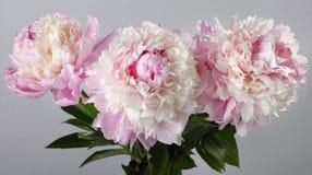 Blumenstrauß von den rosa Pfingstrosen lokalisiert Lizenzfreies Stockfoto
