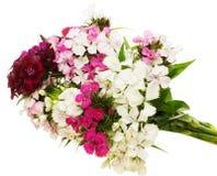 Blumenstrauß von Dianthus in einem weißen Hintergrund Lizenzfreies Stockfoto