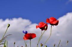Blumenstrauß von drei Mohnblumen gegen einen blauen Himmel Stockfotografie