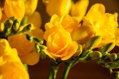 Blumenstrauß von Freesia Lizenzfreies Stockbild