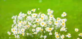 Blumenstrauß von Gänseblümchenblumen auf grünem Hintergrund Stockfotos