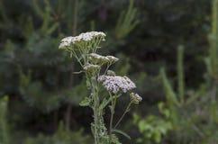 Blumenstrauß von Garbe oder Achillea-millefolium Wildflowers, Kräutermedizin in der Blüte, Plana-Berg Lizenzfreie Stockbilder