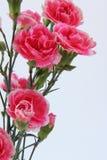 Blumenstrauß von Gartennelkenblumen Lizenzfreie Stockfotos