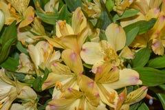 Blumenstrauß von gelben Alstroemeria-Lilien stockfotografie