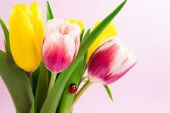 Blumenstrauß von gelben und rosa Tulpen mit dekorativem Marienkäfer Rosa Hintergrund 8. März Mutter und Konzept der Frauen Tages stockbild