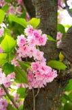 Blumenstrauß von Kirschblüten Lizenzfreie Stockbilder