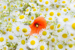 Blumenstrauß von kleinen weißen Gänseblümchen und von einer hellen roten Mohnblume der Blume mitten in dem Blumenstrauß Lizenzfreies Stockbild