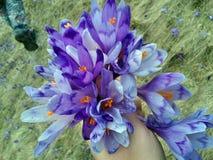 Blumenstrauß von Krokussen stockbilder