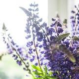 Blumenstrauß von Lupines im Raum Lizenzfreies Stockfoto